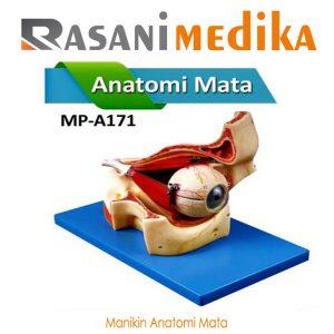 Manikin Anatomi Mata