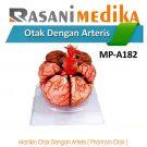 Manikin Otak Dengan Arteris ( Phantom Otak )
